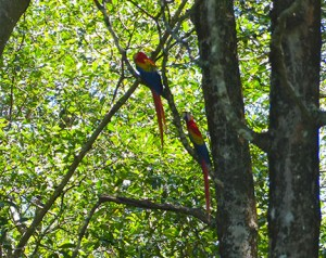 Costa-Rican-Macaws